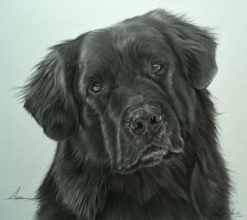 Commission - Newfoundland cross 'Angel' by Captured-In-Pencil