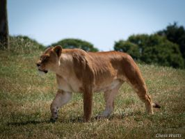 Lioness I by ChessW24