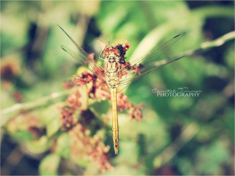 Dragonfly004 by ischarm
