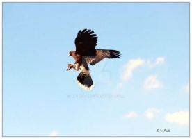 Hawk catching its prey by kpadda