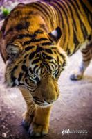 Tiger by Milton-Andrews
