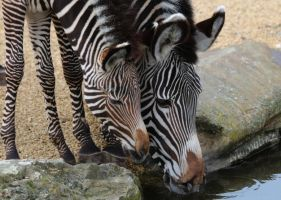 Striped tenderness by Momotte2