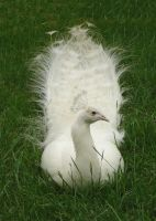 white peacock relaxing by jadisofeternity