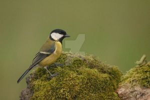 great tit by Sarah-Hann-photo