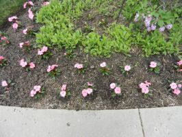 2015 outdoor planted pink flowers in rows by dth1971