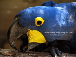 Hyacinth Macaw by Olvium
