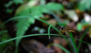Robber Fly by albus119