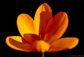 Crocus ii by Little-Miss-Splendid