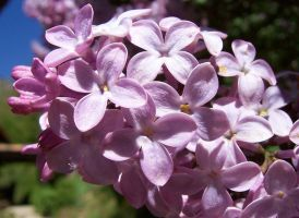 Lilac close-up by Shelly-J