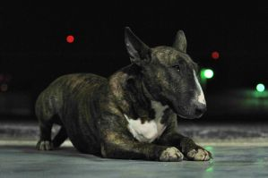 English Bull Terrier stock by JSF1