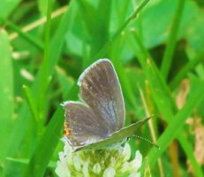 White Hairstreak Butterfly by LovingLivingLife