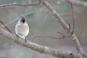Snow Titmouse by mydigitalmind