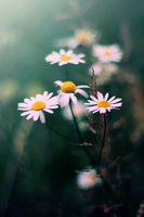 white flowers by zioomus