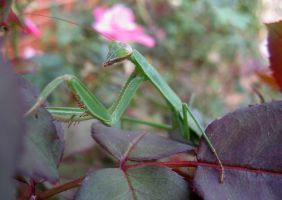 Mantid by curiousused