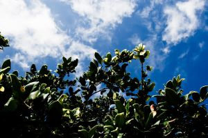Green Leaves and Blue Sky by richardxthripp