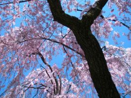 Cherry Tree 2 by Rose-Vicious