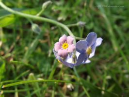 Forget Me Not.. by AlfiBOh