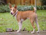 Basenji Houston 88 by 0Encrypted0