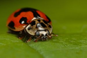 Harlequin Ladybird by Alliec