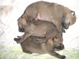czech wolfdog puppies 2 by Blondlupina