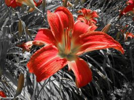 Red Lily II by Azagh