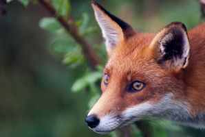 Foxy Eyes by gmwebs