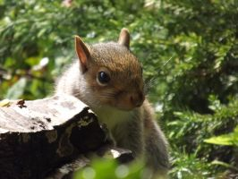 Young Male Squirrel by foxyfellowuk