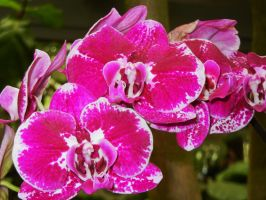 Orchid Fantasy by KDMB