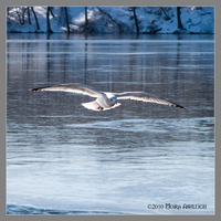 Gull Over Ice by Mogrianne