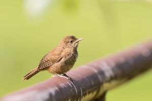 House Wren - Fence hopping by JestePhotography