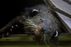 Binturong by ribbonworm