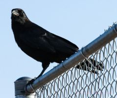 Crows Watch Baseball To by Kaptive8