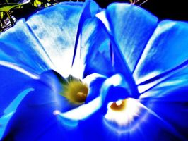 Glory Of The Morning Glory by wolfgrl22