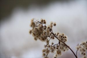 Flowers of the Winter III by rici66