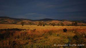 Lone Bison by jayshree
