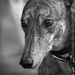 Opt to Adopt - Greyhound Sky by sassawj