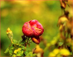 Rose in the rain by ShlomitMessica