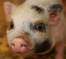 pot-bellied pig by bart2012