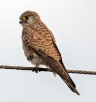 Common Kestrel by tectonixr