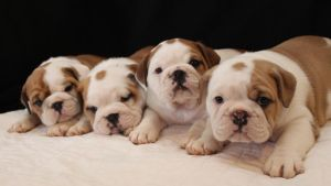 Four Pups by Lambieb123