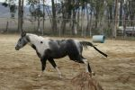 Blue Roan Paint Mare At Liberty by HorseStockPhotos