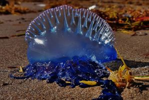 Portuguese man o' war 2017 by Matthew-Beziat