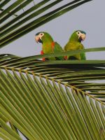 Noble Macaws by sebastopolgoose