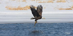 Eagle with fresh catch by DGAnder