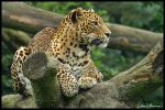 Leopard04 by jimbomp44