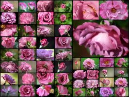 50 Angel Face Roses by OrphieG
