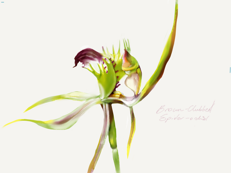 Brown-Clubbed Spider-Orchid by ceredwyn