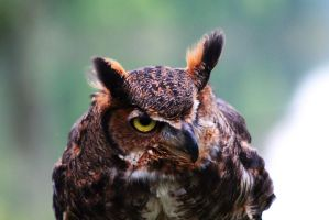 Great Horned One-eyed owl by foxsilong