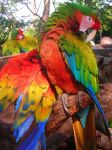Macaw in Mexico by GoinBack2Cali