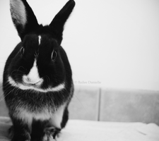 Stark, the foster bunny, was adopted! by reckIess